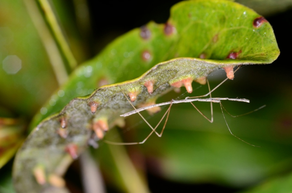 Reduviidae