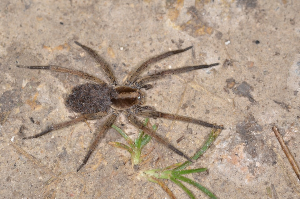 Spider with Young