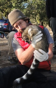 Scott with a tranquilized ringtail