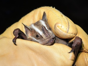 Greater Stripe-faced Bat