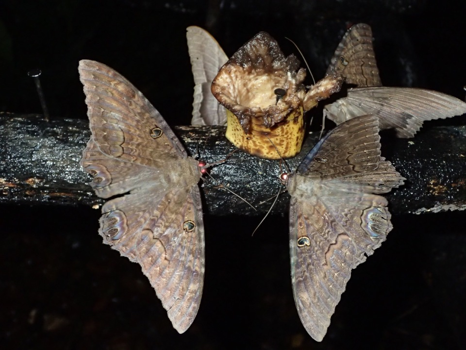 Black Witch moths were attracted to the fermenting fruit on the bird fruit stand.  These are a large species sometimes reaching a width as large as six-inches.