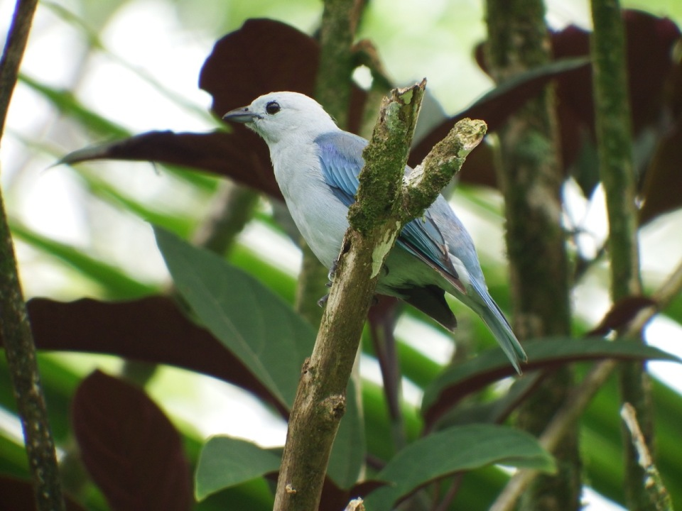 Blue-gray Tanager - a bird we often saw.
