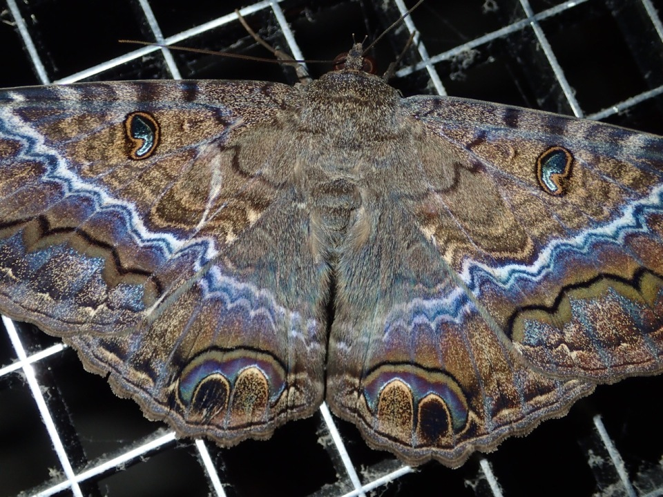 Black Witch moth at the Hotel Bougainvillea.