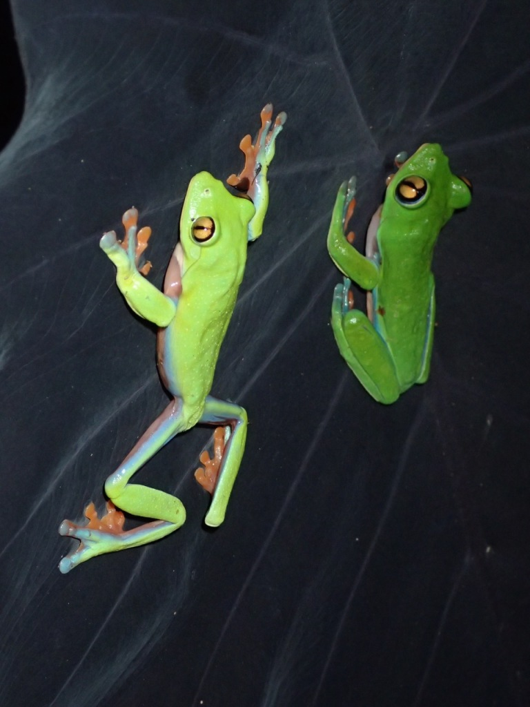 Two Golden-eyed Tree Frogs on a leaf at the Hotel Bougainvillea, Costa Rica.