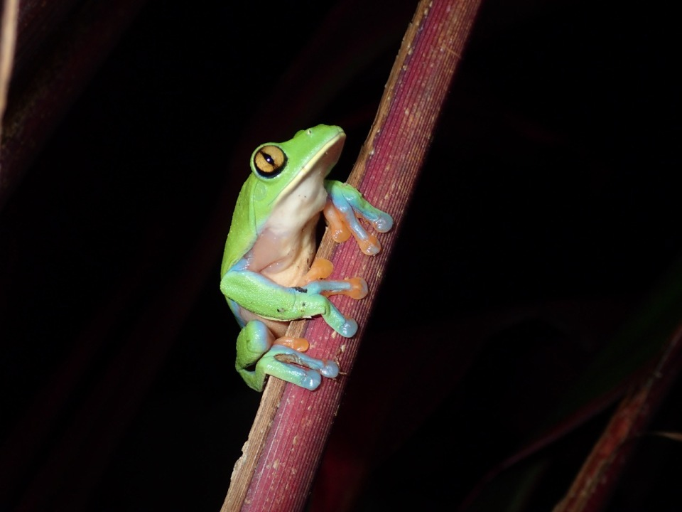 Golden-eyed Tree Frog (Agalchnis annae) near one of the ponds at the Hotel Bougainvillea, Costa Rica.