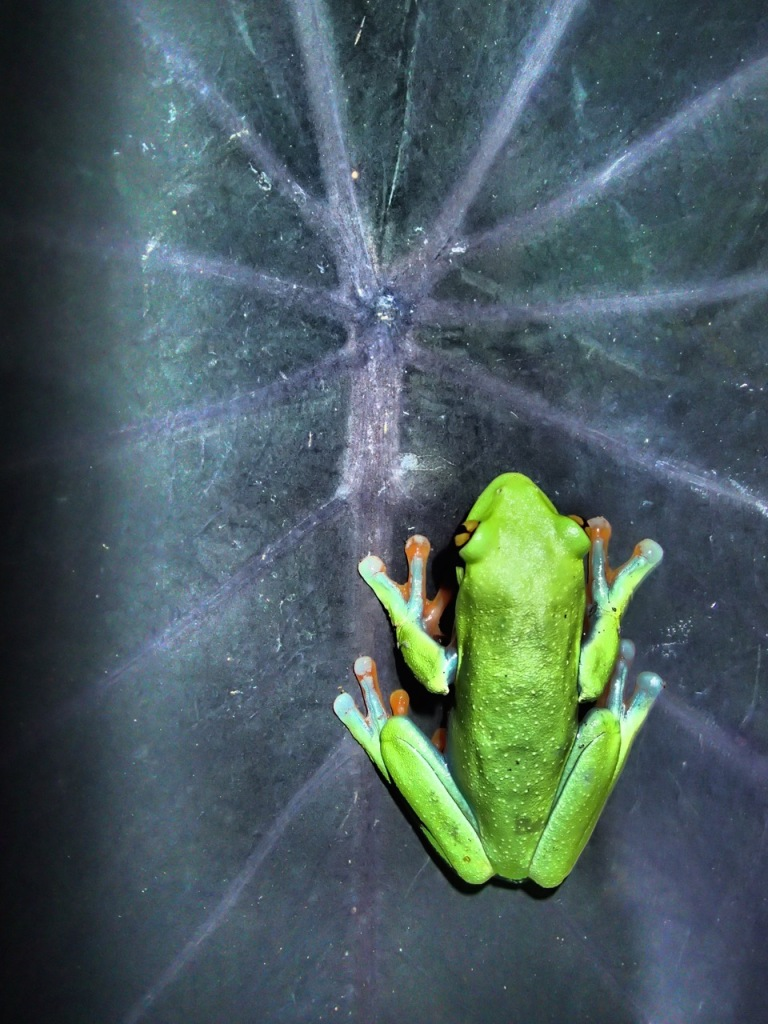 Golden-eyed Tree Frog - photo was taken using a built in filter on my Olympus TG-3.  Cool effect!
