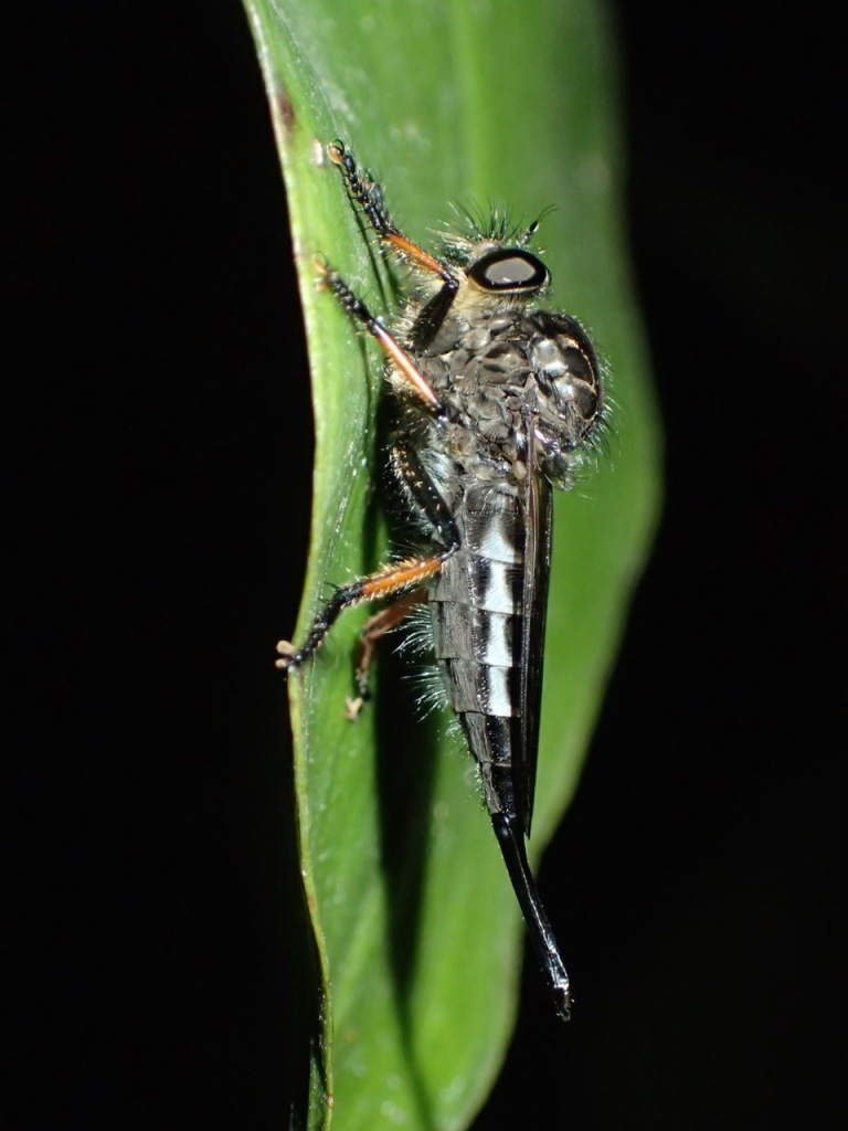 This is one of the interesting small creatures we saw - a Robber Fly (Family Asilidae).  Hotel Bougainvillea, Costa Rica.