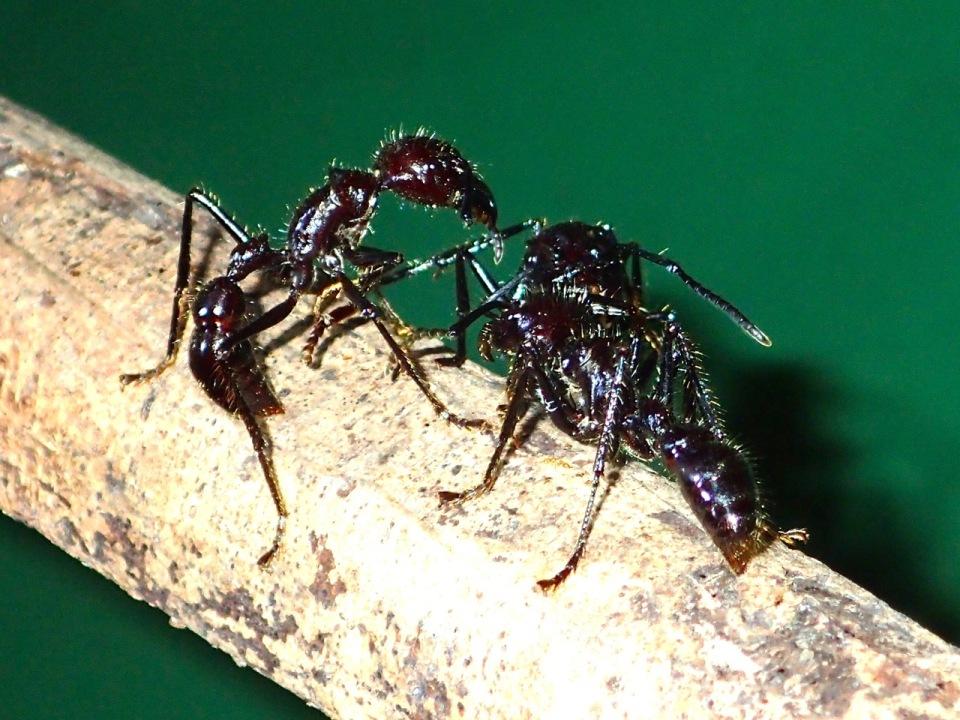 Bullet Ants.