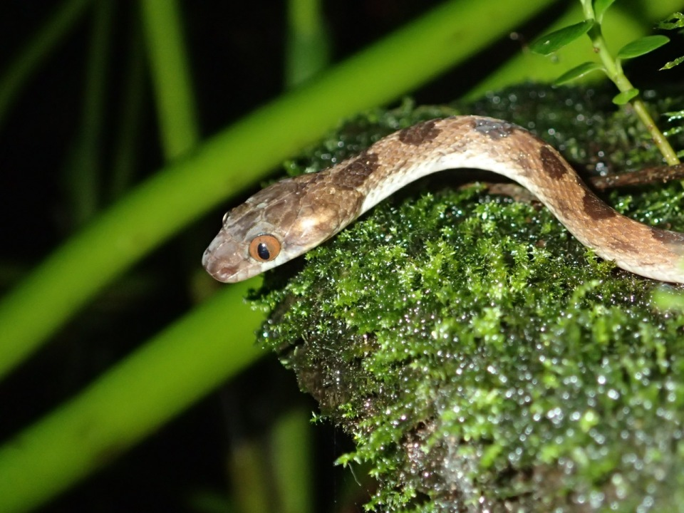A Cat-eyed Snake - this is a predator of frog eggs...thus it was located where the Red-eyed Treefrogs hang out.