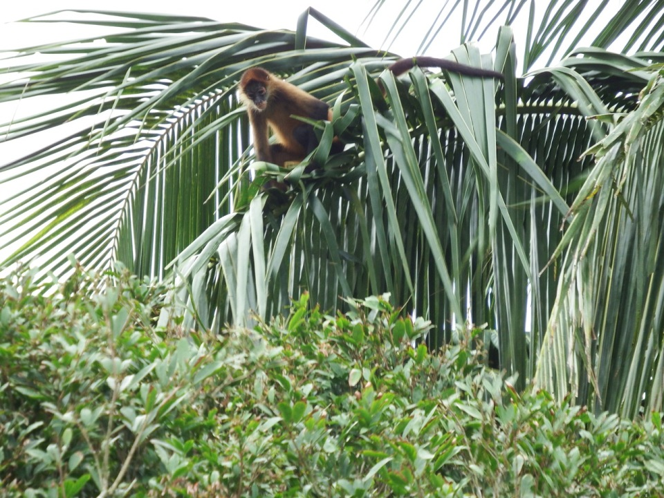 Central American Spider Monkey 2