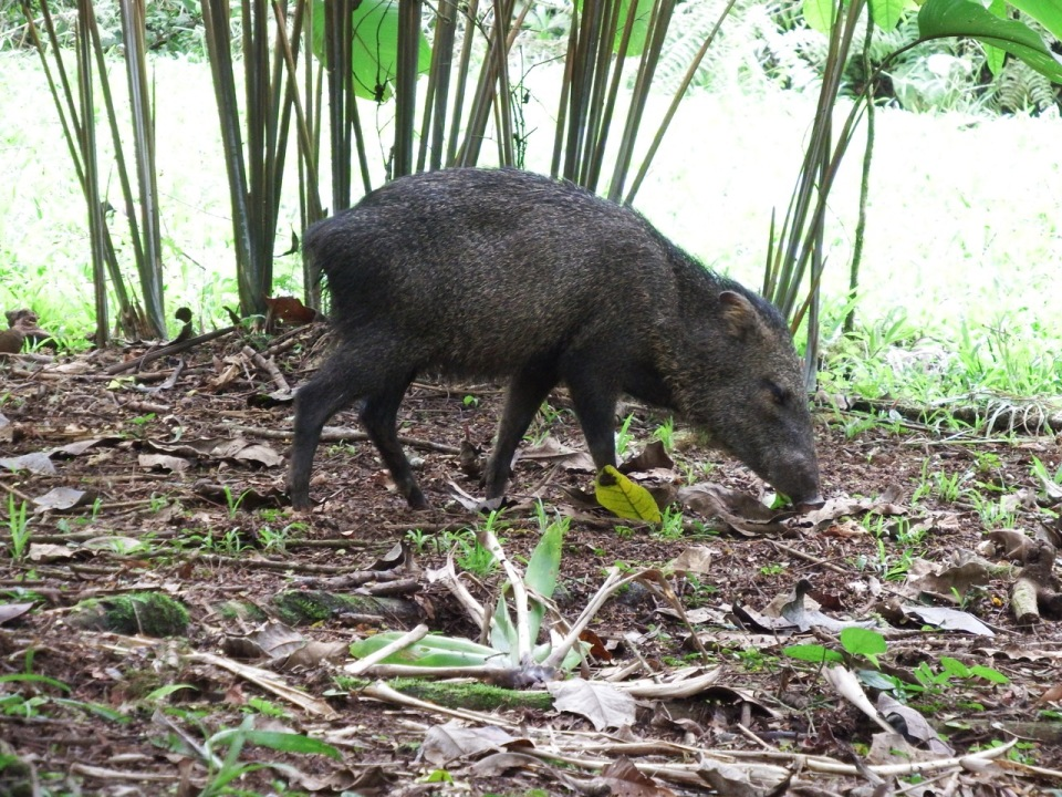 White-collared Peccary.