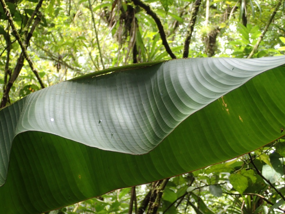 This is a heliconia leaf that has been modified by the bats into a