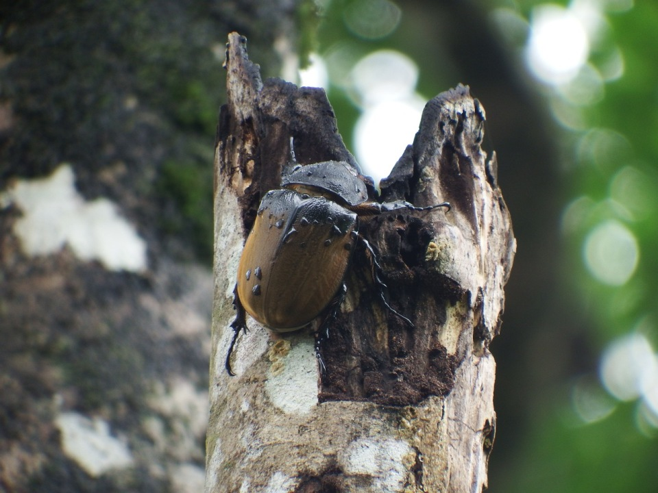 A female Rhino or Elephant Beetle...this one was at the top of a snag and measured approximately at least 3-inches in length.