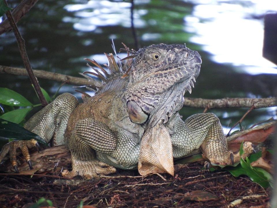 Adult Green Iguana.