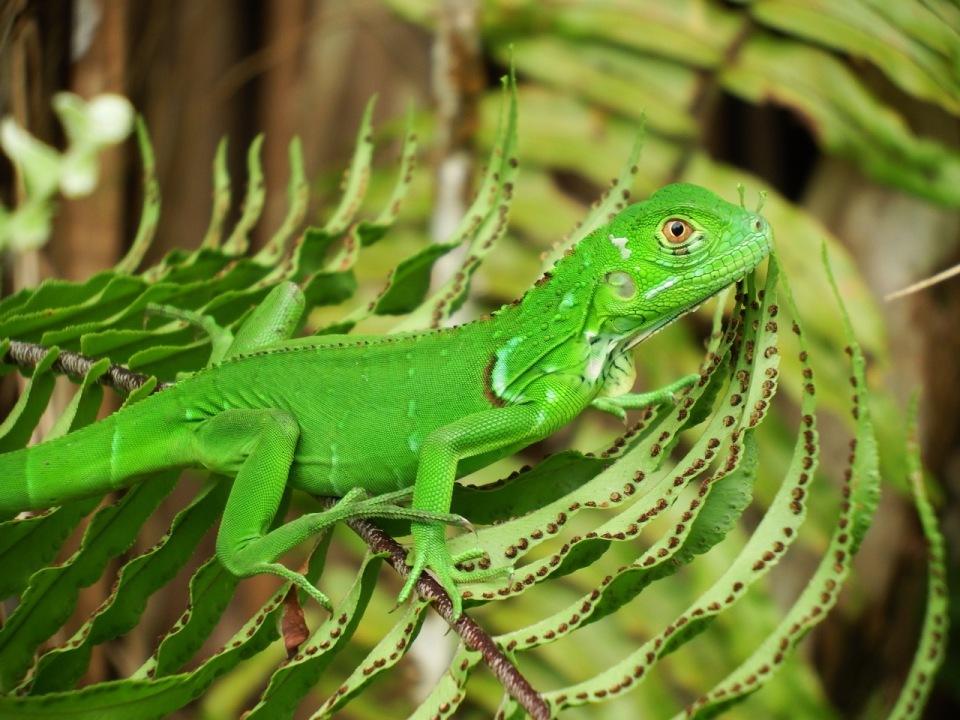 Juvenile Green Iguana.