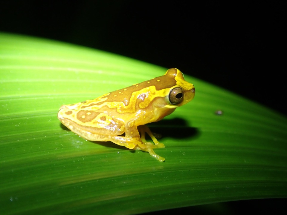 An Hourglass Frog at one of the constructed ponds.  Other frogs seen at these ponds included the Dink Frog and the Red-eyed Treefrog.