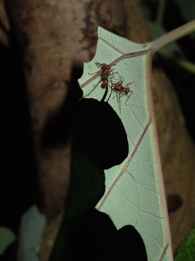 Leaf-cutter Ants at work.