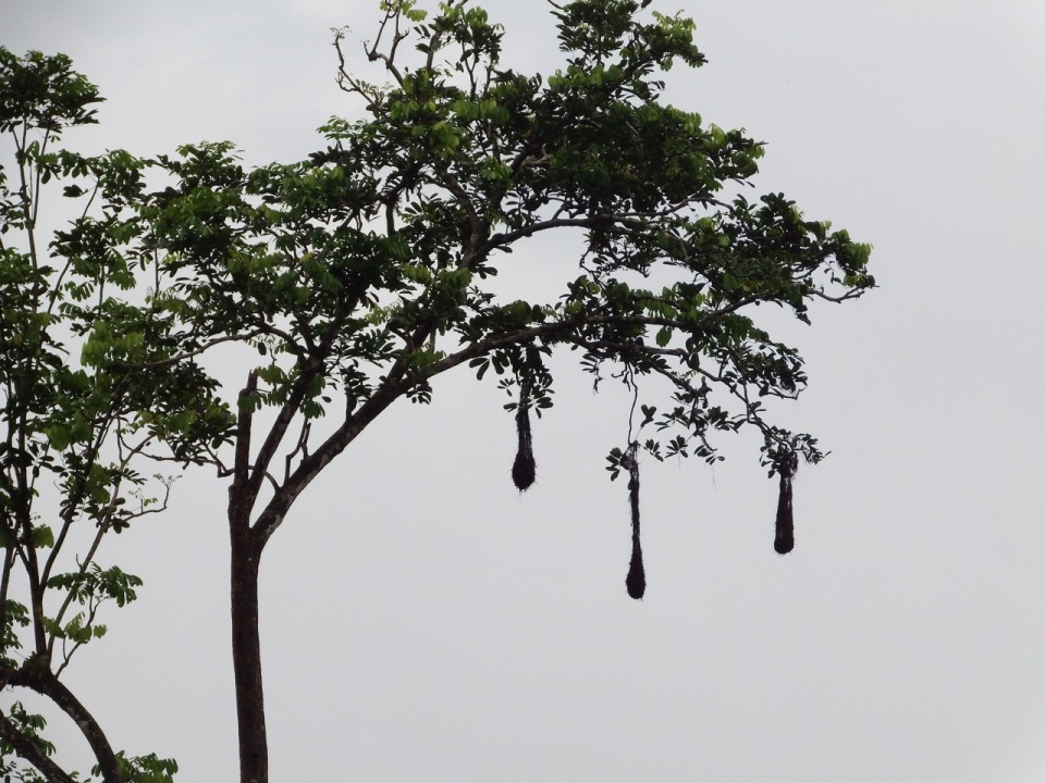 These are the nests of the Montezuma's Oropendola...they are woven by the bird from grass and other items and hang from the tree to make them less accessible to predators.  They are large too...measuring upwards of 3-feet in length.