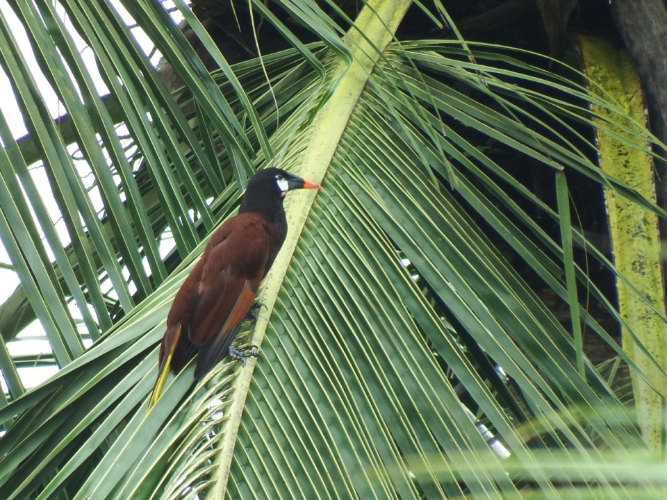 This is a Montezuma's Oropendola...a fairly large bird that nests colonially.