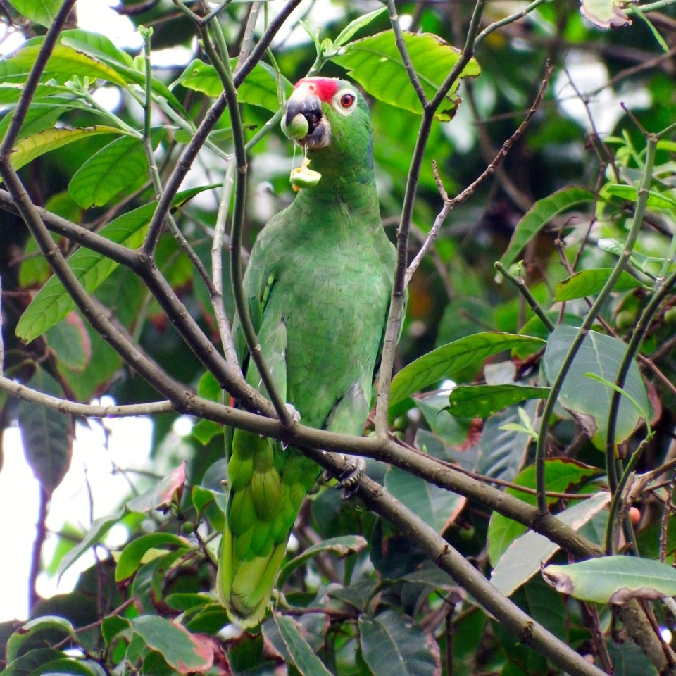 Red-lored Parrot - there was a large flock of these all feeding on fruit and flowers and also chattering up a storm.  It was awesome!