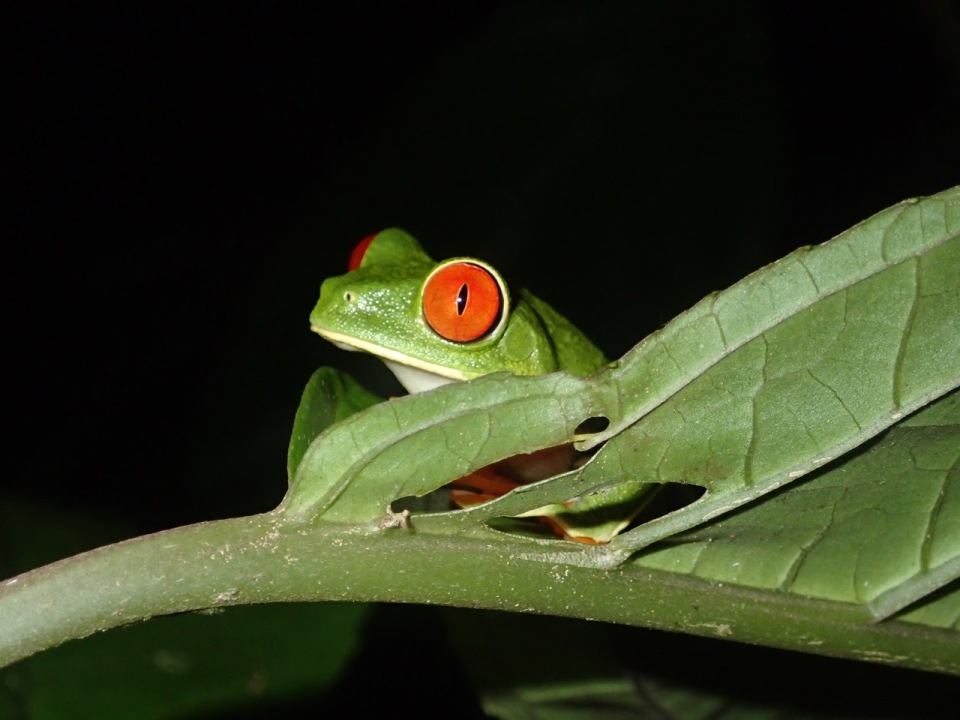 Red-eyed Treefrog.