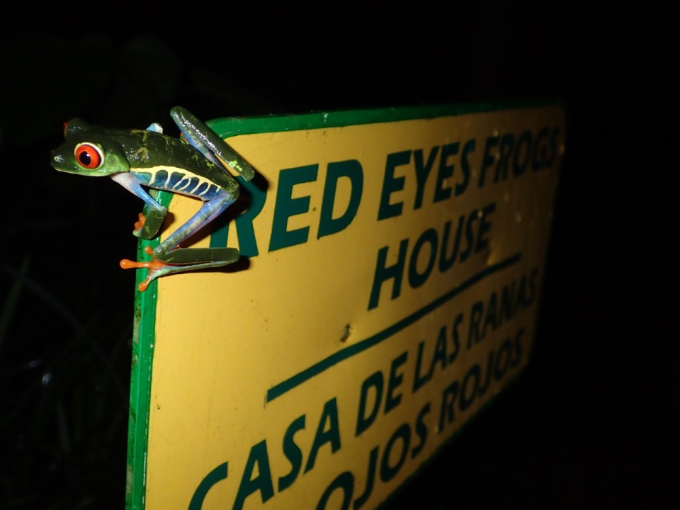 Loved the sign, but loved the fact that a female Red-eyed Treefrog was perched on the corner of it...and no, this truly was not staged!