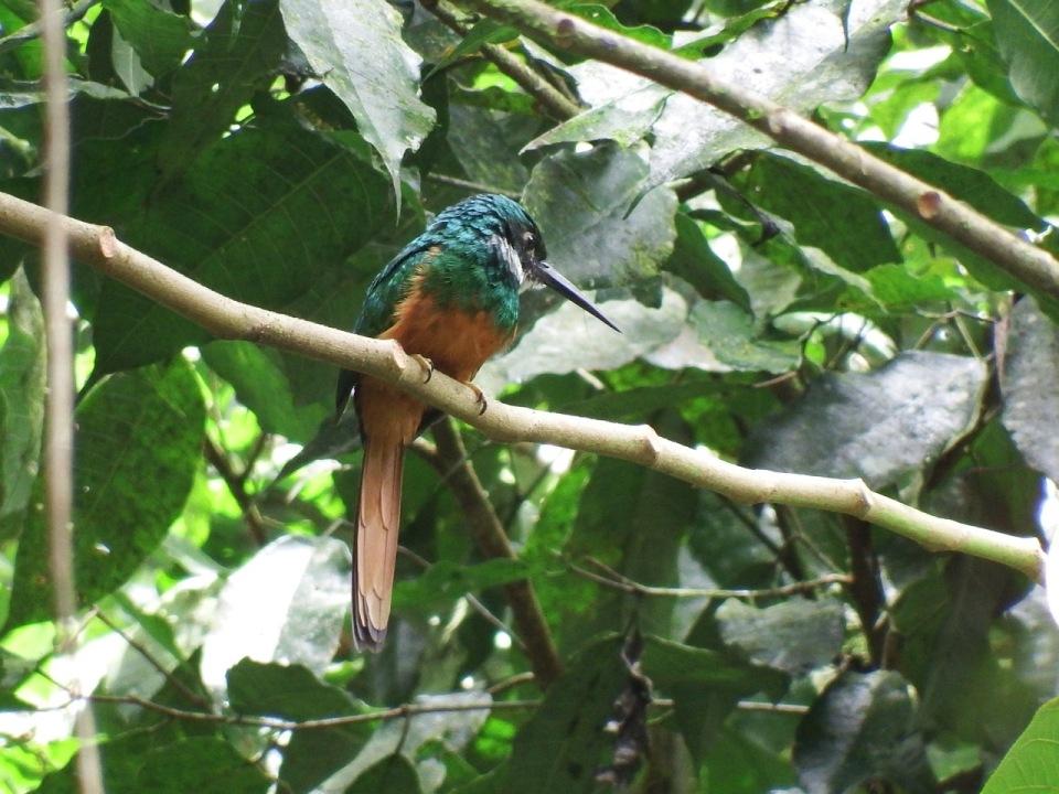 Rufous-tailed Jacamar.