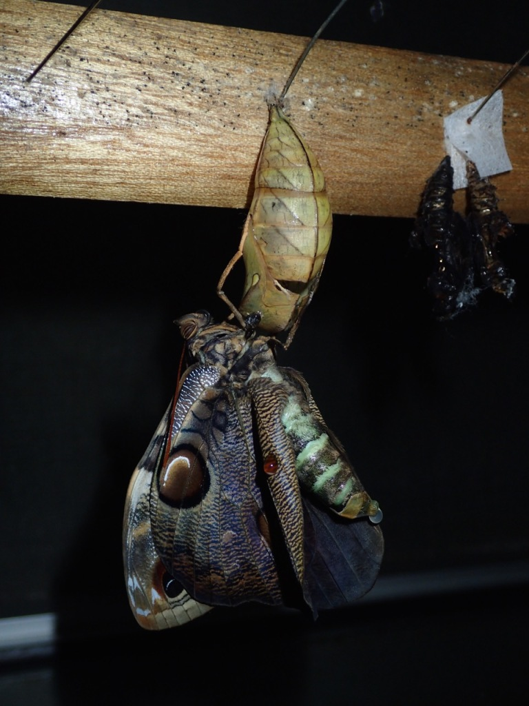 A Morpho butterfly emerges from it's chrysalis at the butterfly garden at Selva Tropical.
