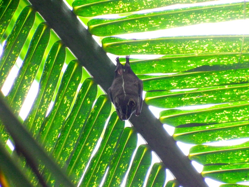 The Common Tent-making Bat (yep, that is the common name)...scientifically it is known as Uroderma bilobatum.