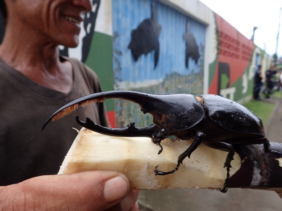 Hercules Beetle on a piece of sugar cane.