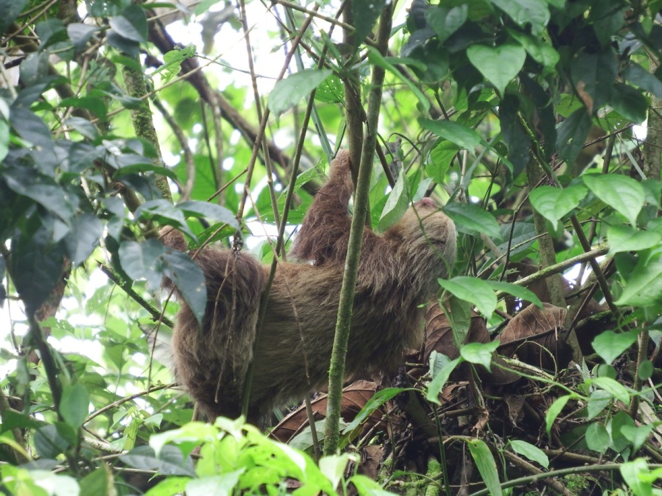Two-toed Sloth.