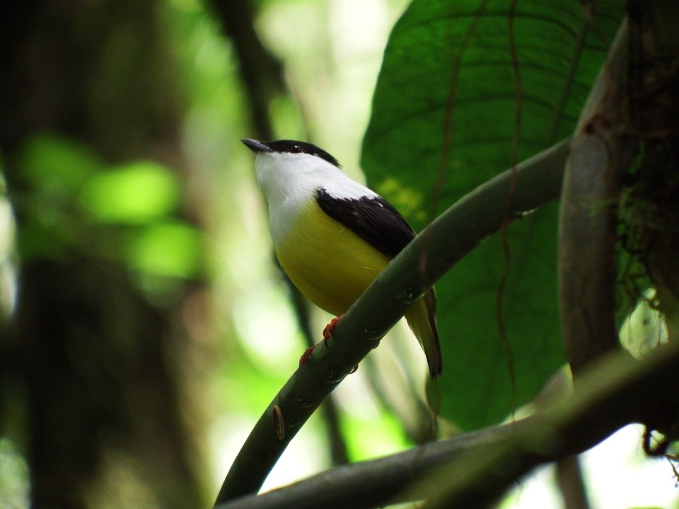 White-collared Manakin.